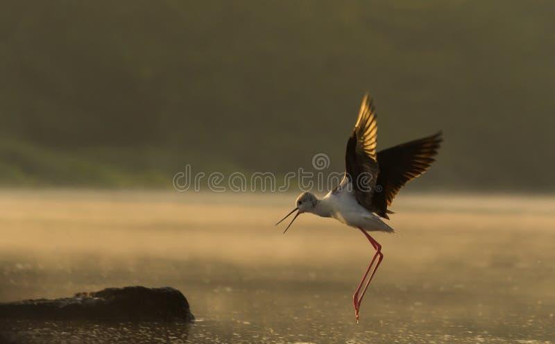Volo dell'uccello del cavaliere d'Italia alla luce dorata fotografia stock
