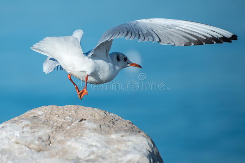 Volo dell'uccello del gabbiano dalla roccia immagine stock