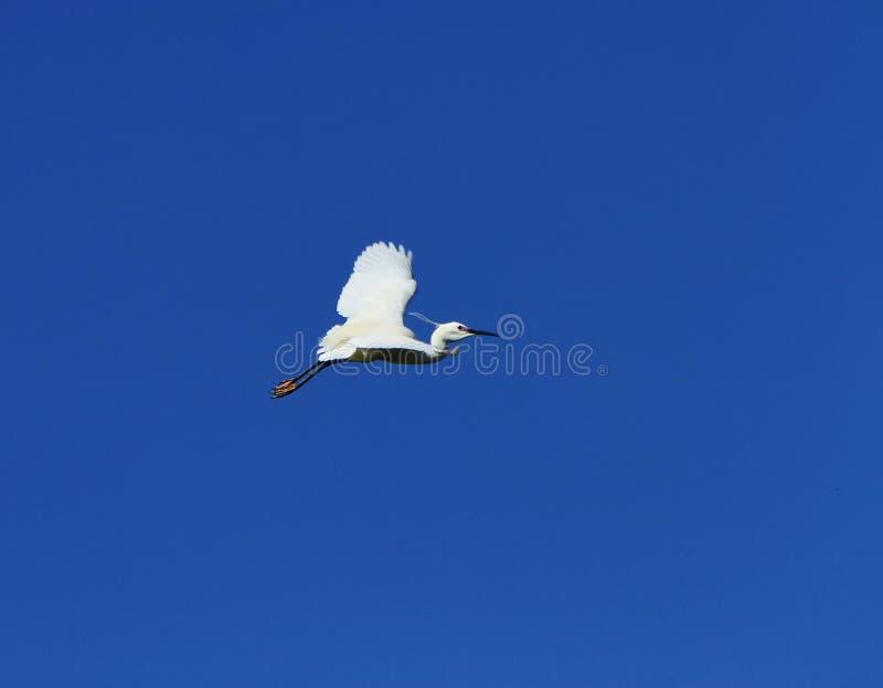 Download Volo Dell'uccello Dell'egretta Fotografia Stock - Immagine di background, selvaggio: 30825980