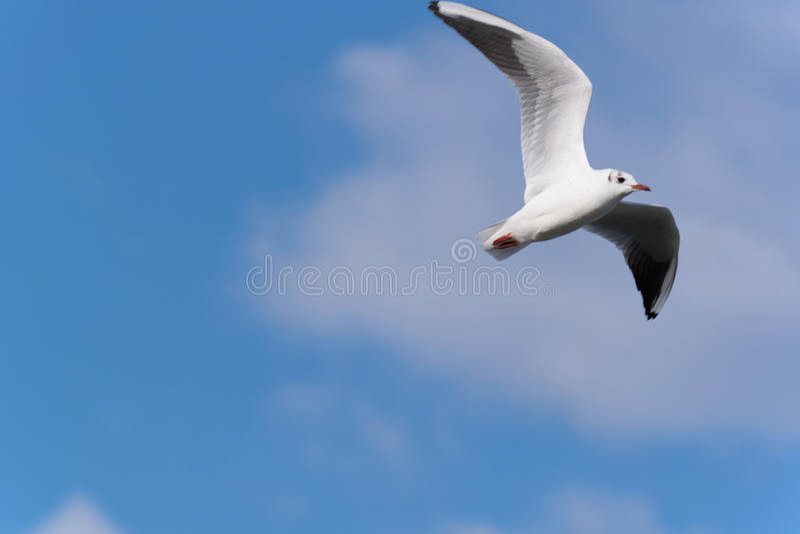 Volo dell'uccello di mare fotografie stock