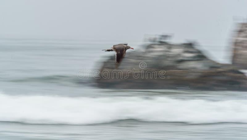 Volo dell'uccello di mare lungo la costa immagine stock
