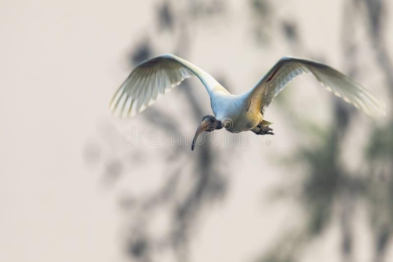 Volo dell'uccello freezed all'altezza d'occhio fotografie stock