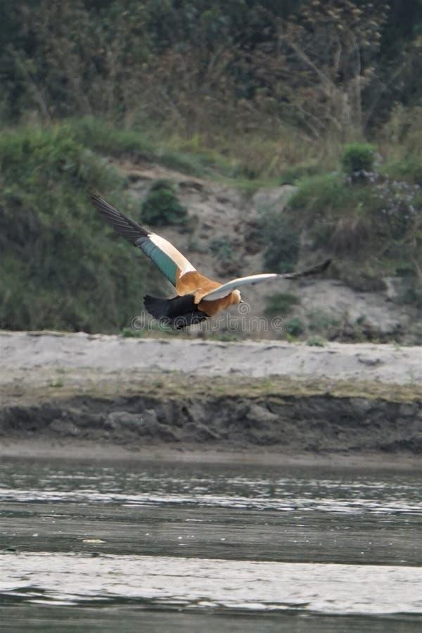 Volo dell'uccello sopra acqua fotografie stock libere da diritti