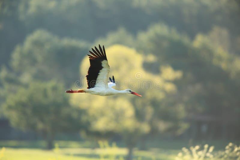 Volo della cicogna bianca sopra il prato immagini stock libere da diritti