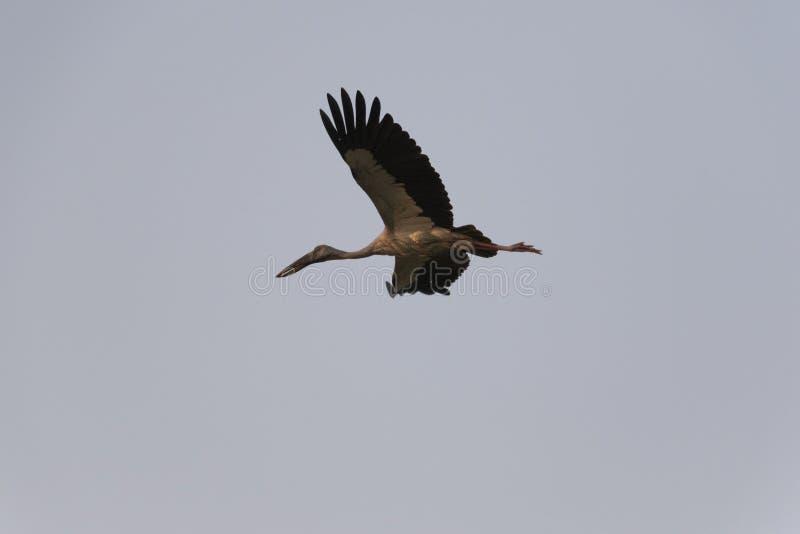 Volo della cicogna di Openbill in un cielo blu fotografie stock