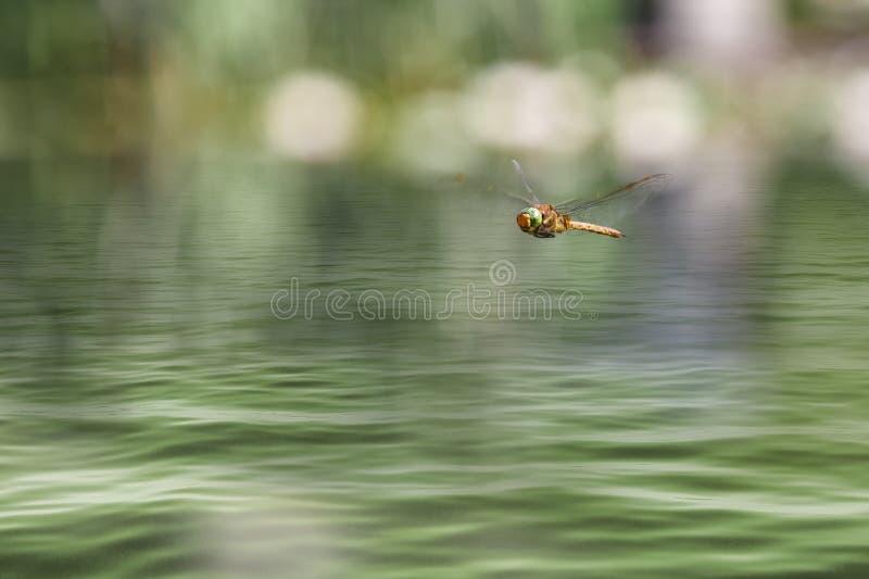 Volo della libellula in un giardino di zen