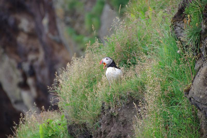 Volo della pulcinella di mare dell'Islanda di una scogliera fotografie stock