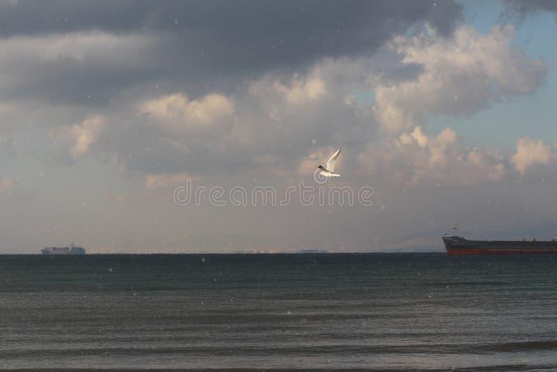 Volo di audouinii di larus sopra il mare fotografie stock