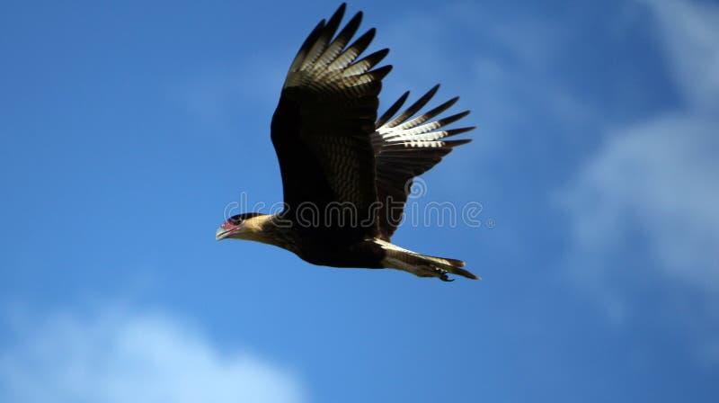 Volo di carcara del falco sul cielo blu fotografia stock libera da diritti