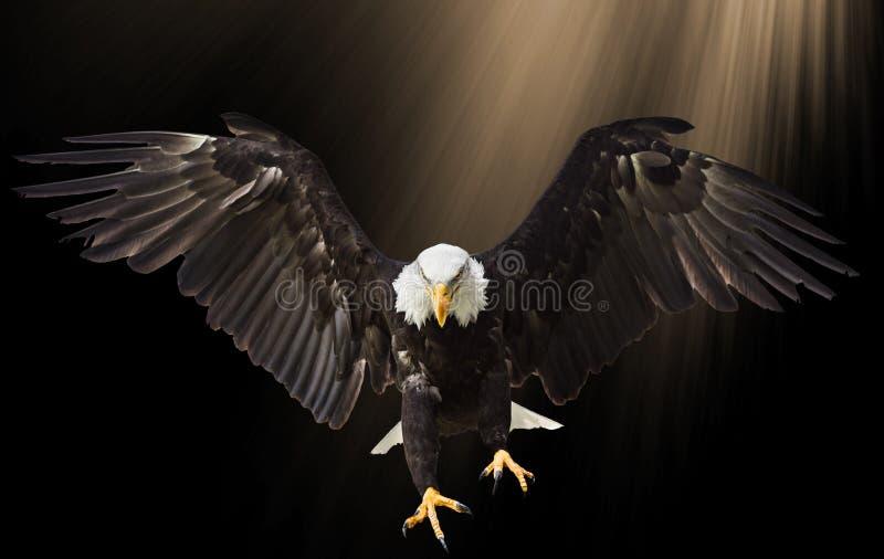 Volo di Eagle calvo sul fondo nero fotografia stock libera da diritti