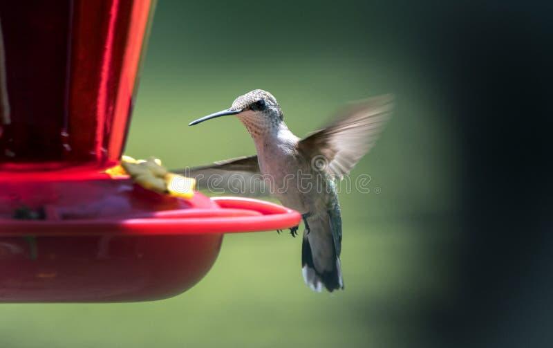 Volo di Ruby Throated Hummingbird all'alimentatore del nettare, Clarke County, Georgia U.S.A. fotografia stock