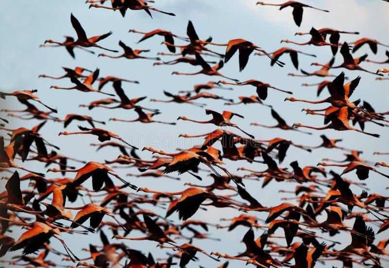 Volo di un fenicottero nel cielo. immagini stock libere da diritti
