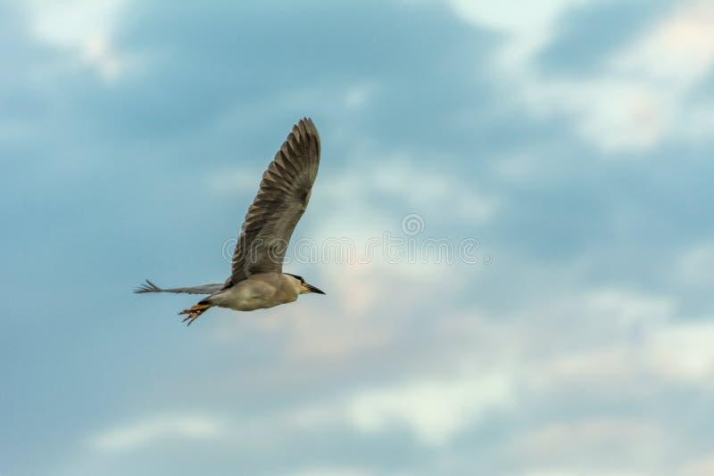 Volo esotico dell'uccello libero contro un cielo blu con le nuvole bianche fotografia stock