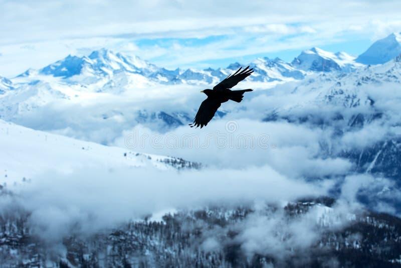 Volo fatturato giallo del chough davanti al paesaggio svizzero delle alpi Montagne di inverno Siluetta dell'uccello bello paesagg fotografia stock libera da diritti