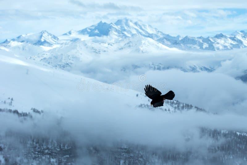 Volo fatturato giallo del chough davanti al paesaggio svizzero delle alpi Montagne di inverno Siluetta dell'uccello bello paesagg fotografia stock