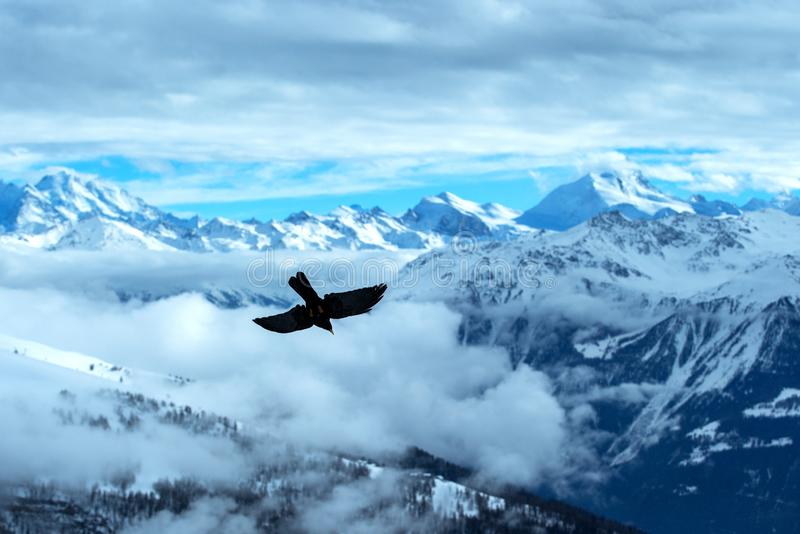Volo fatturato giallo del chough davanti al paesaggio svizzero delle alpi Montagne di inverno Siluetta dell'uccello bello paesagg immagini stock libere da diritti