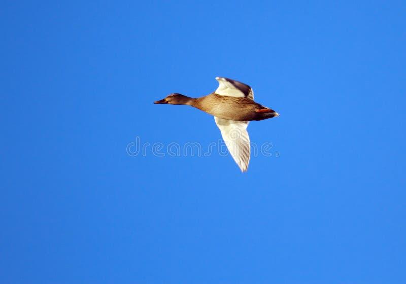 Volo femminile dell'anatra del germano reale fotografia stock