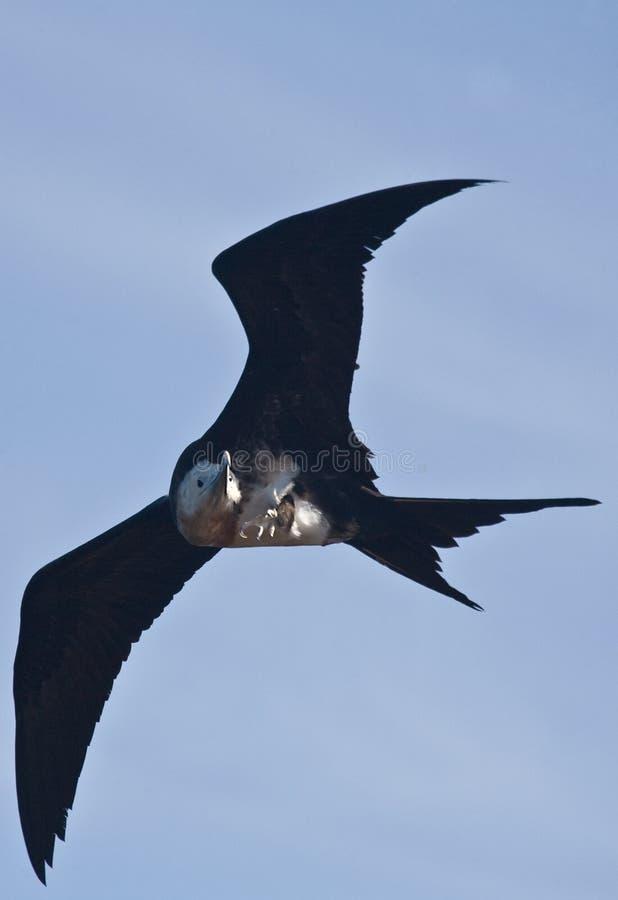 Volo giovanile dell'uccello di fregata fotografie stock