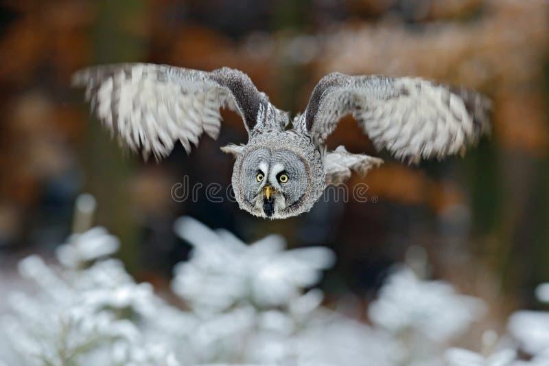 Volo grande Grey Owl, nebulosa dello strige, sopra l'albero bianco della neve con il fondo arancio della foresta di autunno fotografia stock