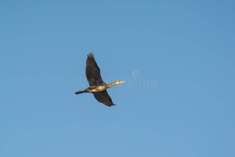 Volo indiano del cormorano immagini stock