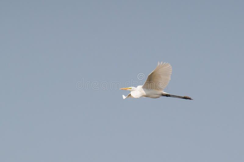 Volo intermedio dell'egretta in cielo immagini stock