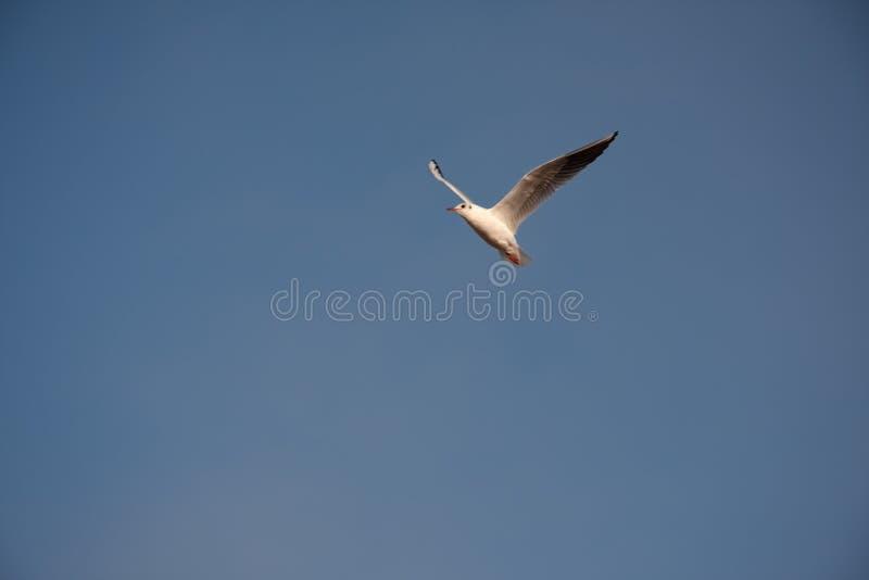 Volo isolato del gabbiano nell'aria da solo immagine stock