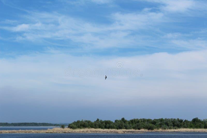 Volo libero del sorso nel cielo blu fotografie stock