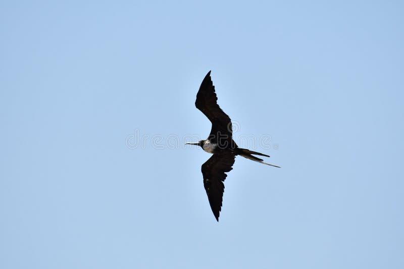 volo nel cielo, foto come Nicoya contenuto fondo, Costa Rica America Centrale del gabbiano fotografie stock libere da diritti