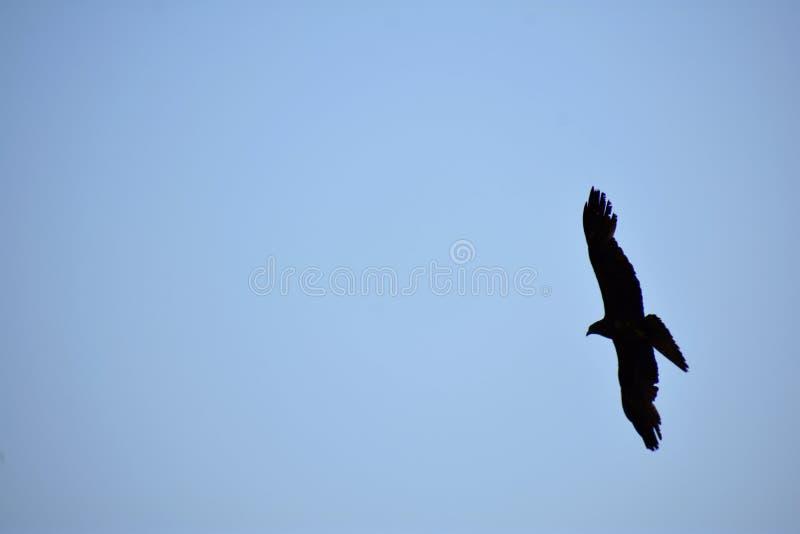 Volo nero in cielo - immagine dell'uccello di consapevolezza della fauna selvatica con lo spazio della copia fotografie stock