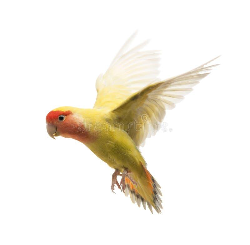 volo Ottimistico-affrontato del Lovebird immagine stock