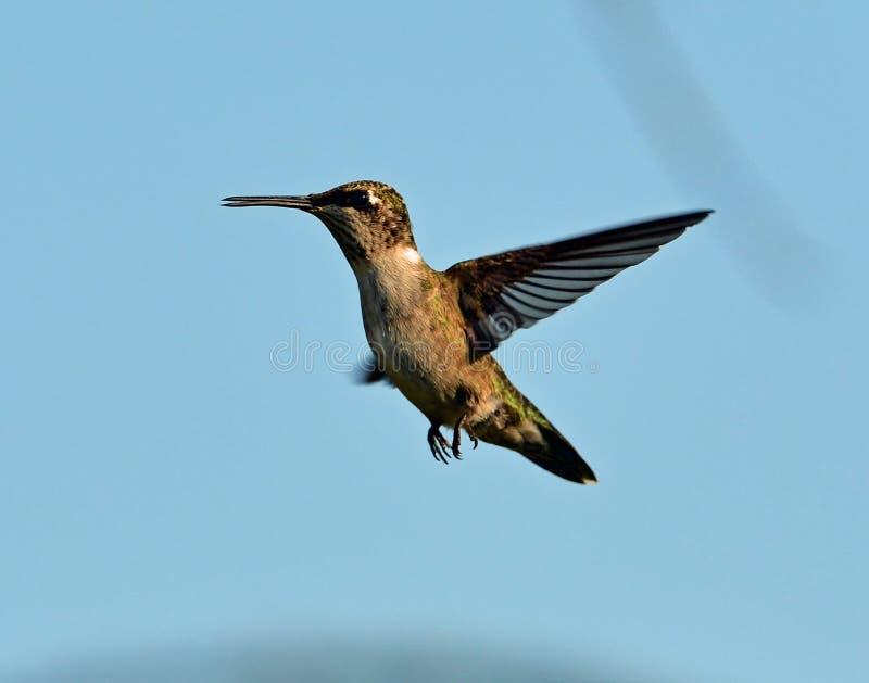 Volo Rubino-Throated del colibrì all'alimentatore immagine stock libera da diritti
