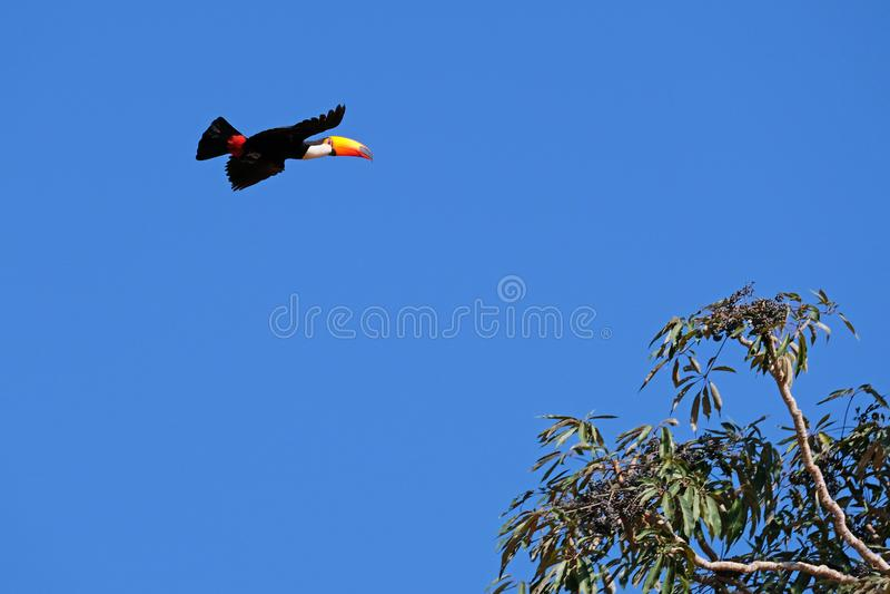 Volo Toco Toucan, Ramphastos Toco, anche conosciuto come il tucano comune, tucano gigante, Pantanal, Mato Grosso do Sul, Brasile immagini stock