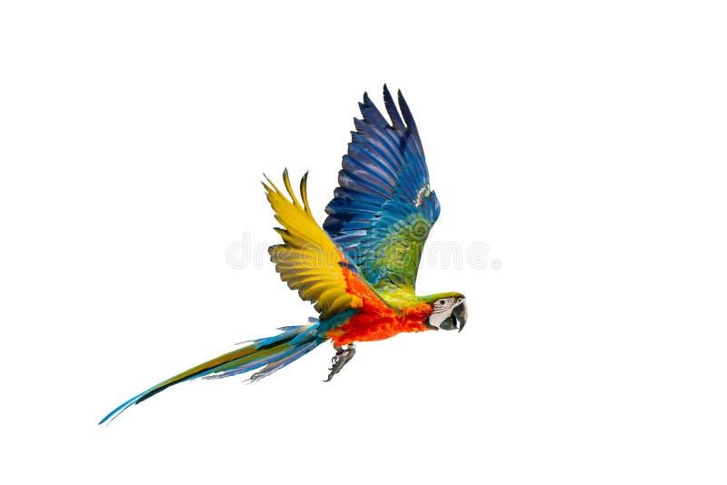 Volo variopinto del pappagallo con il fondo bianco fotografie stock libere da diritti