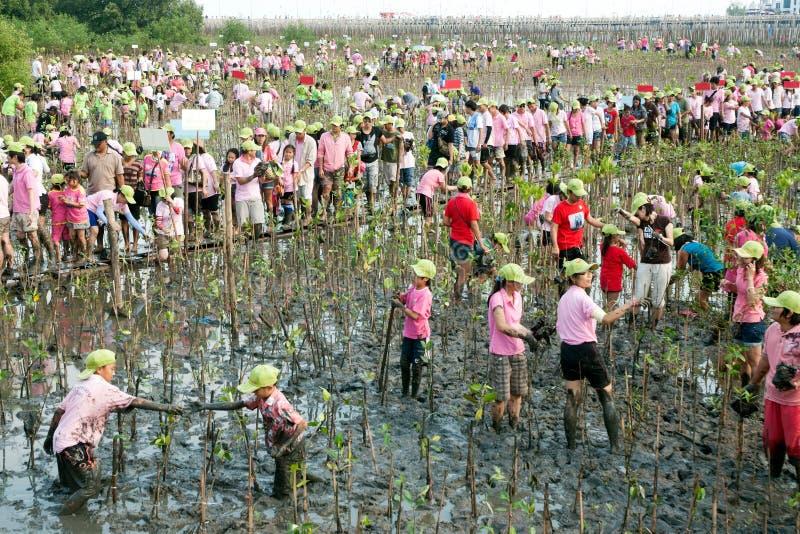 Volontaire thaïlandais travaillant à de jeunes arbres de palétuviers d'usine images libres de droits