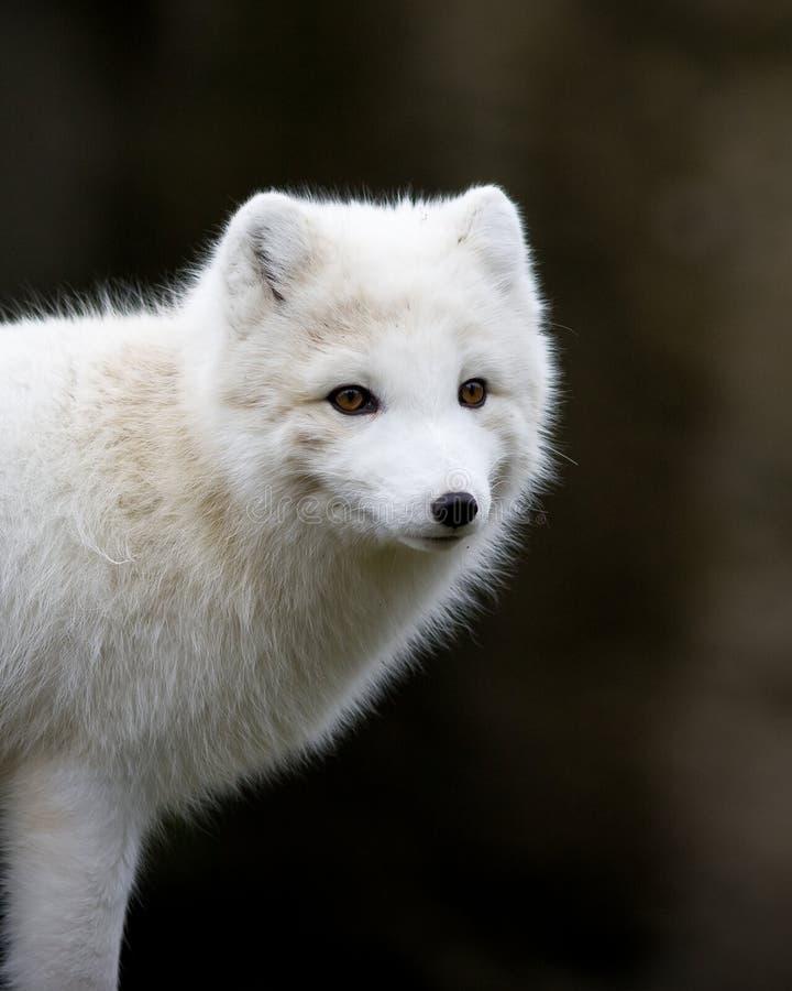 Volpe Artic fotografia stock libera da diritti