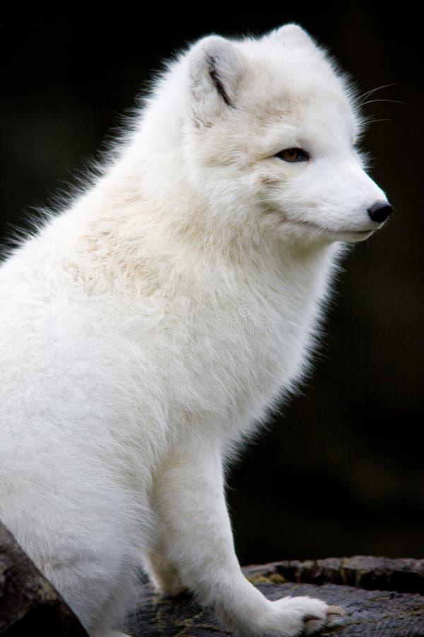 Volpe Artic fotografia stock
