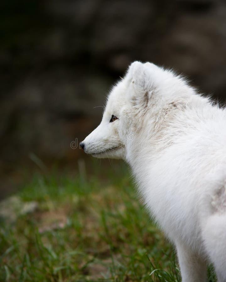 Volpe Artic immagini stock libere da diritti