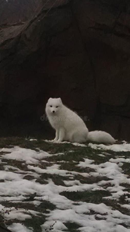 Volpe artica che si siede sulla terra accanto ai piccoli mucchi di neve fotografia stock