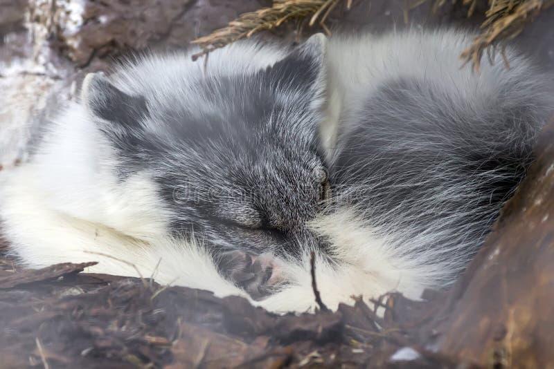 Volpe bianca che dorme sotto l'albero al parco nazionale di Thingvellir fotografia stock libera da diritti