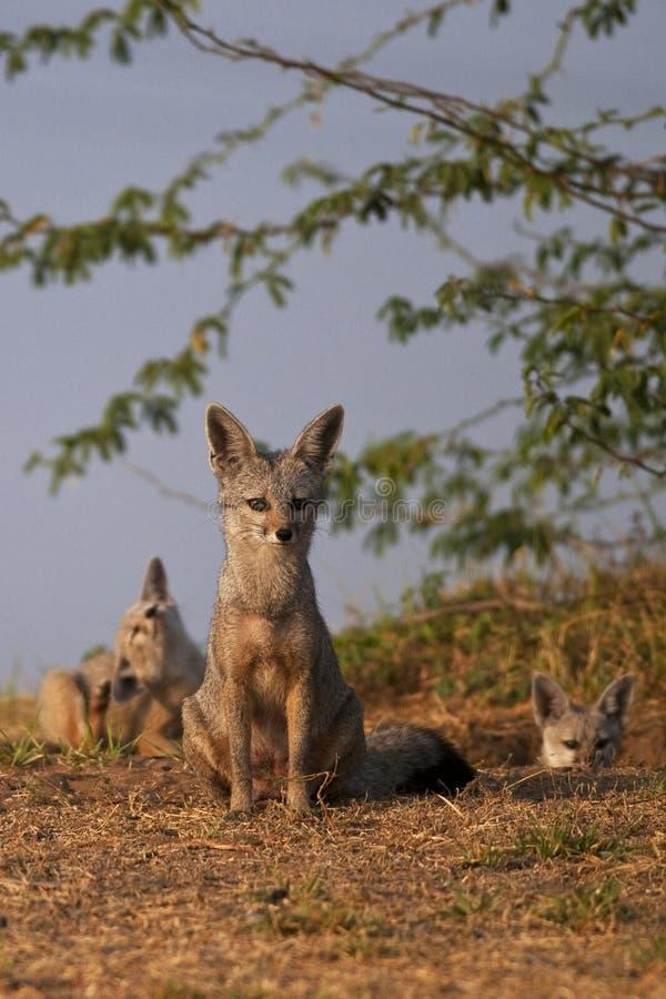 Volpe indiana fotografia stock libera da diritti