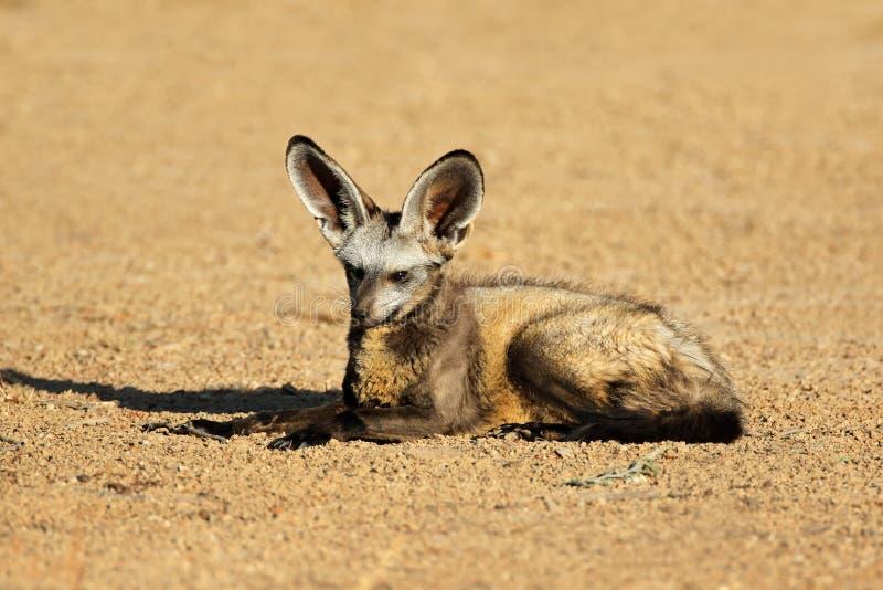 volpe Pipistrello-eared in habitat naturale fotografia stock libera da diritti