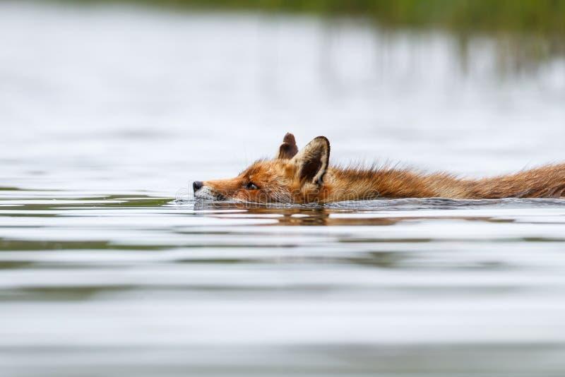 Volpe rossa di nuoto fotografia stock