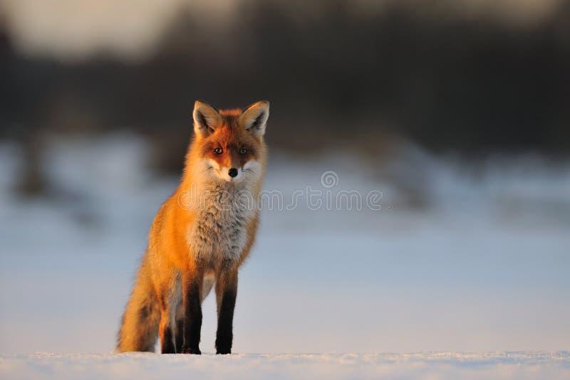 Volpe rossa in inverno fotografia stock libera da diritti