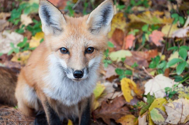 Volpe rossa selvaggia nella foresta di autunno immagine stock libera da diritti