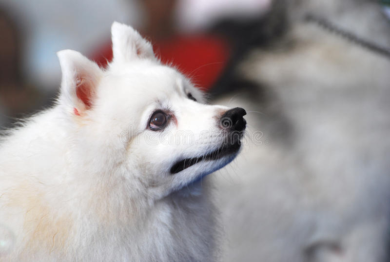 Volpino hund royaltyfri fotografi