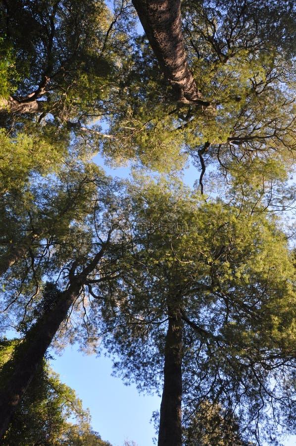 Volta di foresta di Kahikatea, Christchurch, Nuova Zelanda fotografie stock libere da diritti