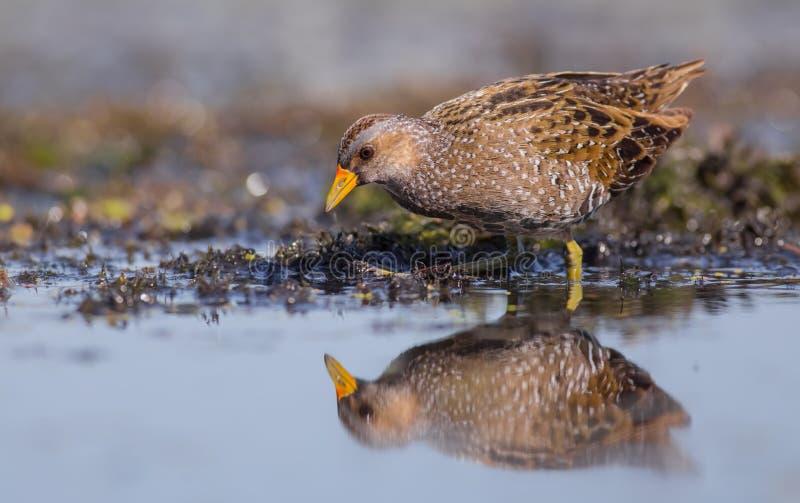 Voltolino - porzana del Porzana - uccello adulto fotografia stock