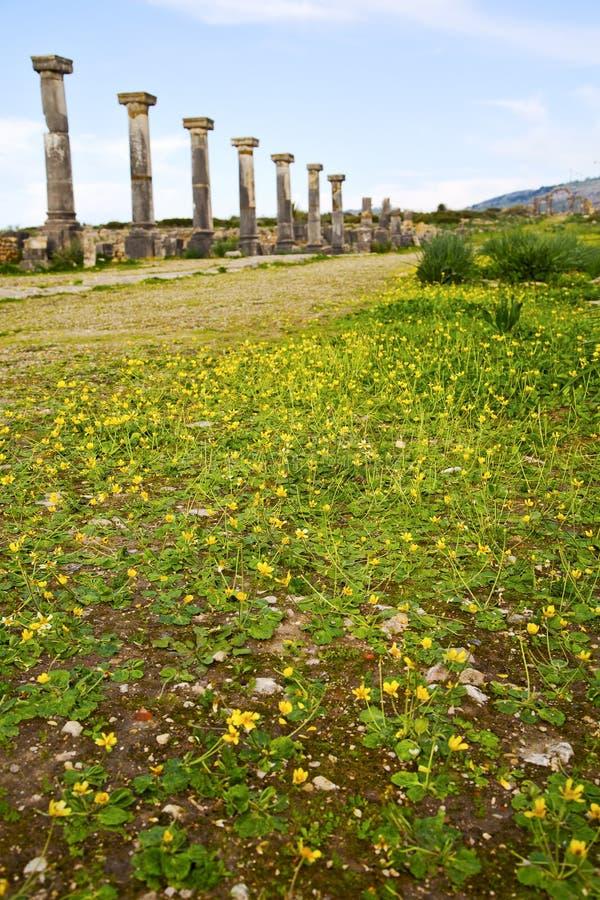 volubilis in Marokko Afrika de oude gele bloem stock afbeeldingen