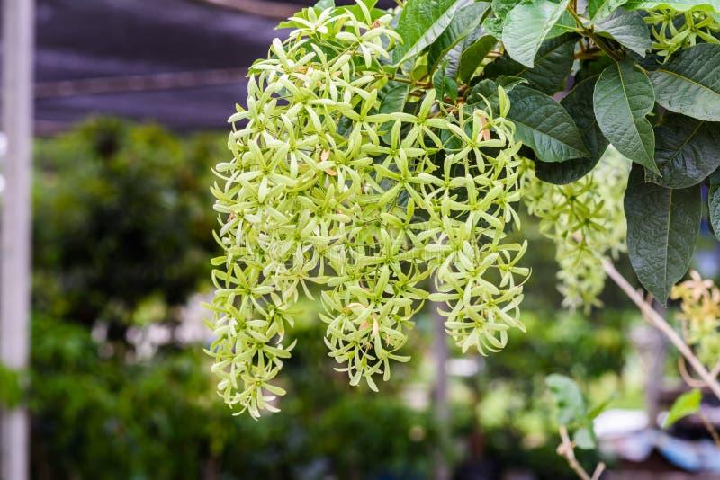 Volubilis verdes de Petrea, volubilis de Petrea, grinalda do ` s da rainha imagens de stock