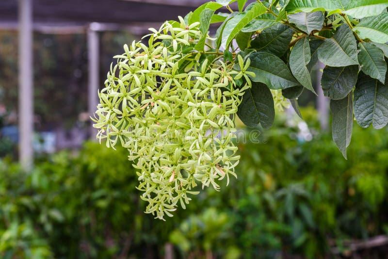 Volubilis verdes de Petrea, volubilis de Petrea, grinalda do ` s da rainha imagens de stock royalty free